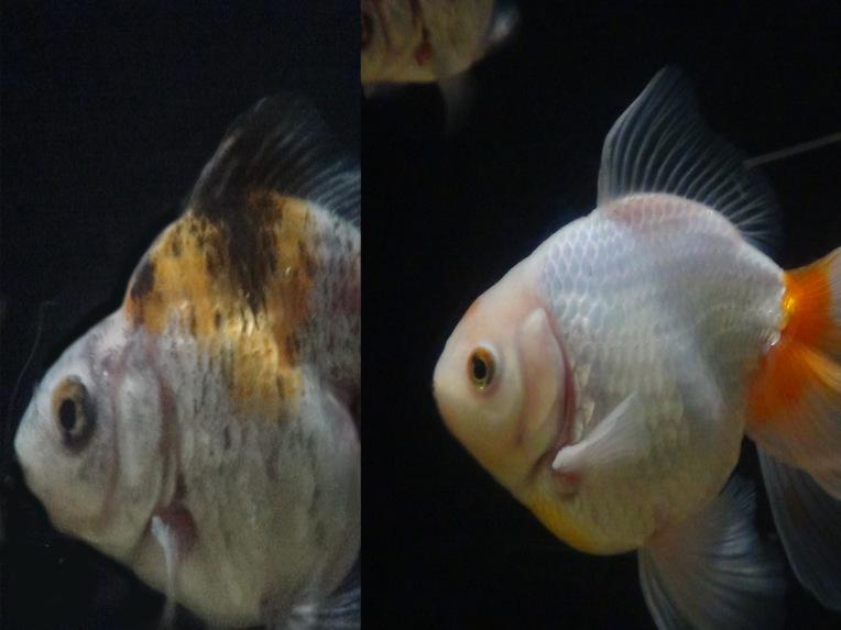 ryukin vs fantail